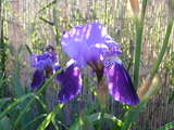 """Iris.JPG"" click for details and versions"